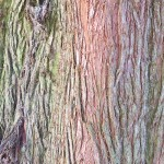 Beautifully striated tree bark