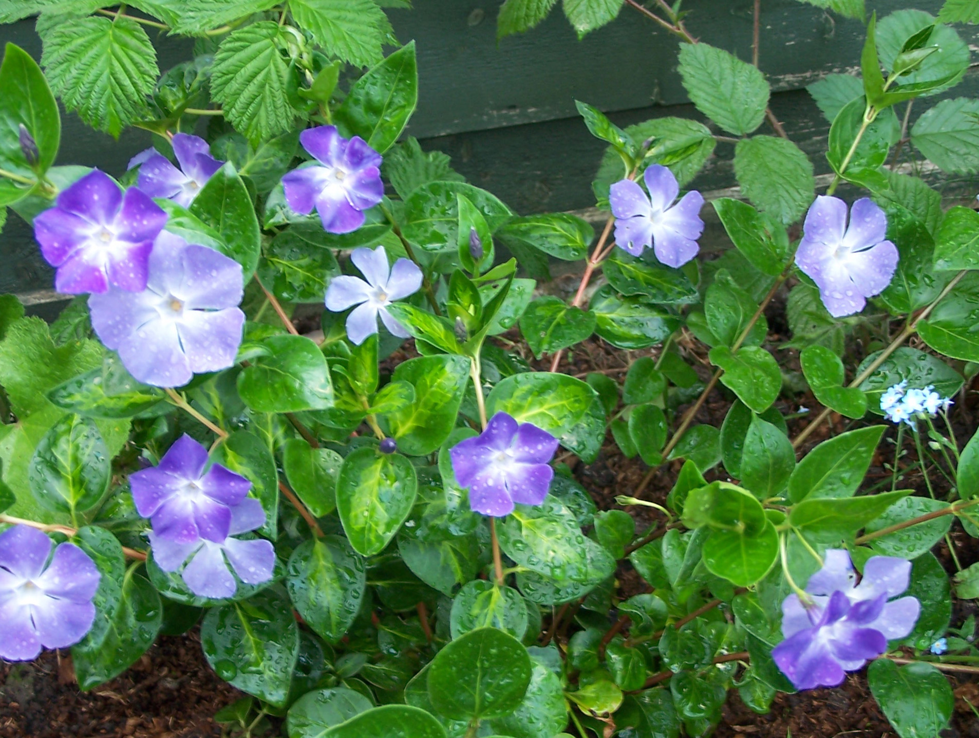 Vinca major 39 maculata 39 periwinkle judi the gardener for Vinca major