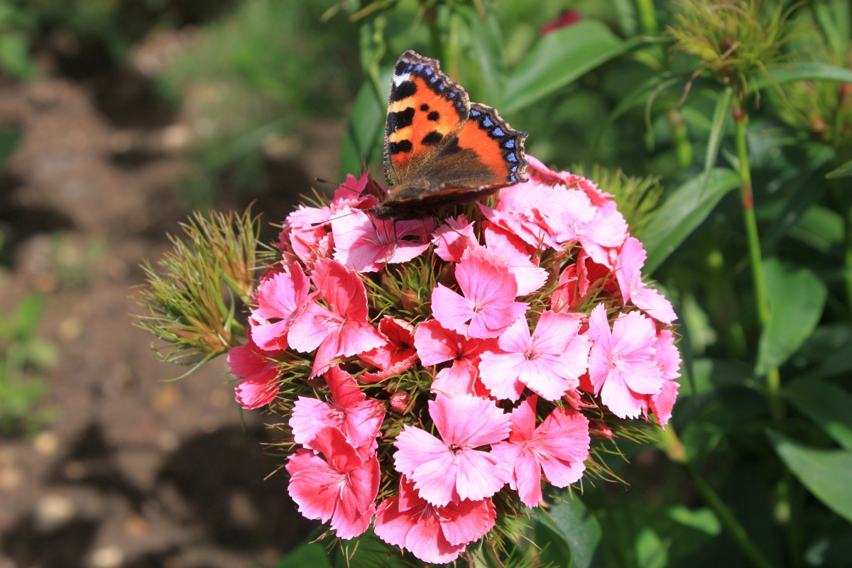 Tortoise shell Butterfly enjoying the Pinks