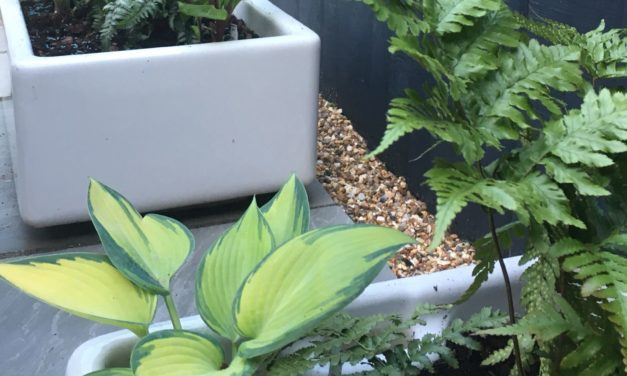Ferns and hostas