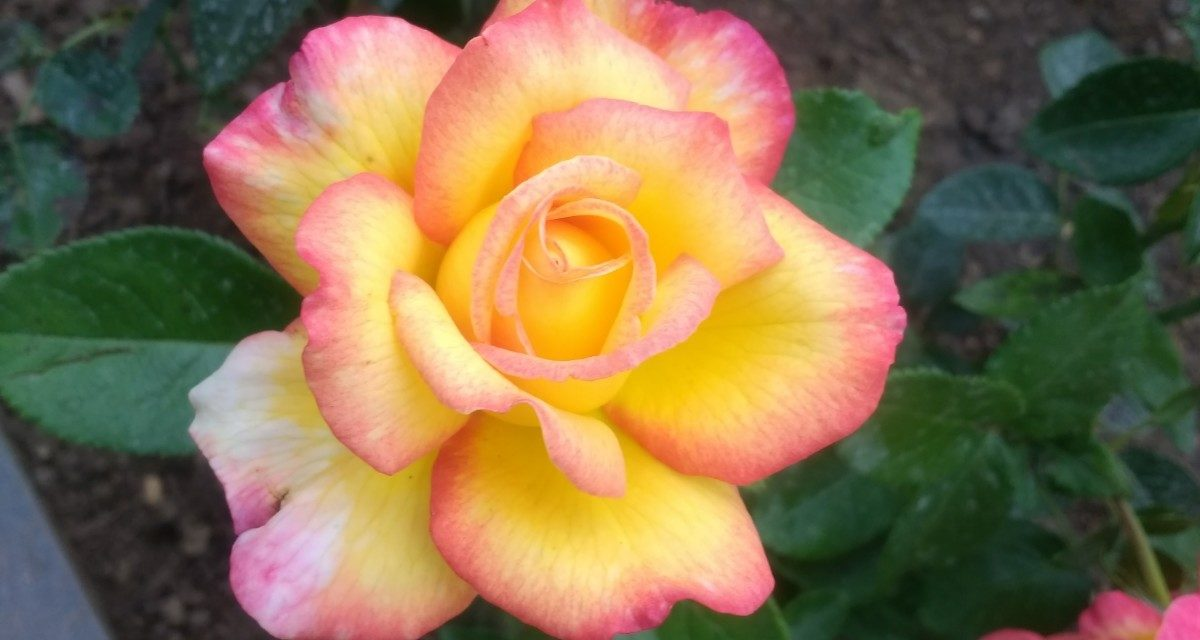 Rose 'Mitsouko' one to plant right now