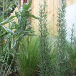 Sage with Rosemary
