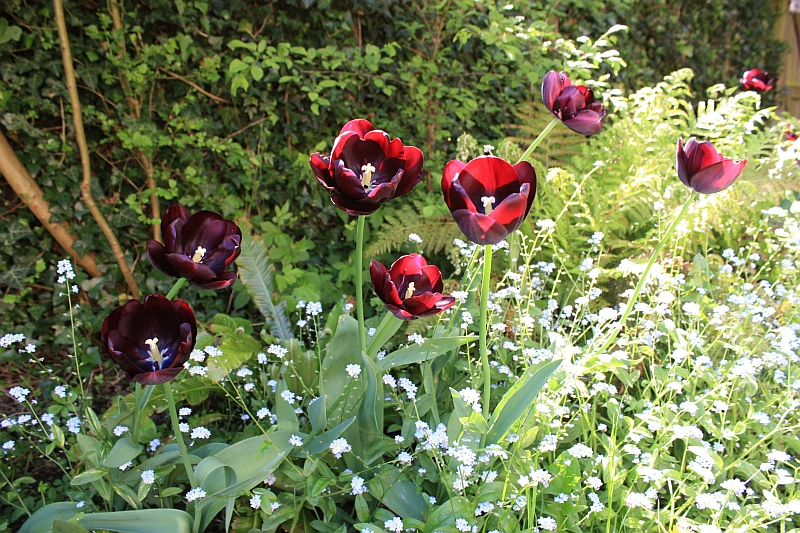 Tulip 'Queen of Night' Christmas planting