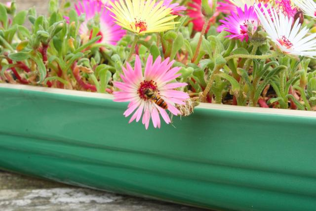 Dish of the day – Livingstone Daisies