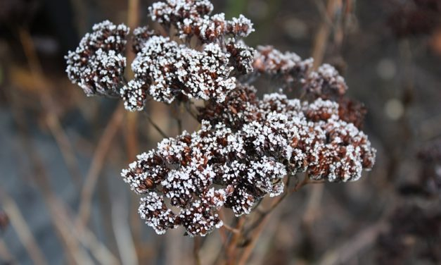 Frosted flora