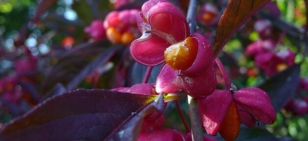 Euonymous europaeus 'Red Cascade' (Spindle Tree)